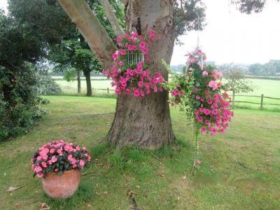 Z38. Baskets Hanging Fro Eucalyptus Tree